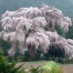 安曇野市三郷のしだれ桜